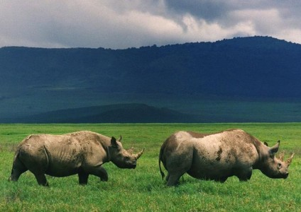 Black rhinos in the Ngorongoro crater in 2007. Photo: Brocken Inaglory