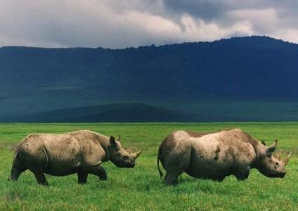 Black rhinos in the Ngorongoro crater in 2007. Photo: Brocken Inaglory